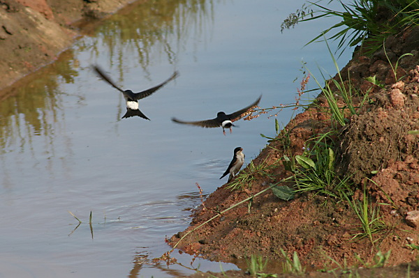 Swallows at the water